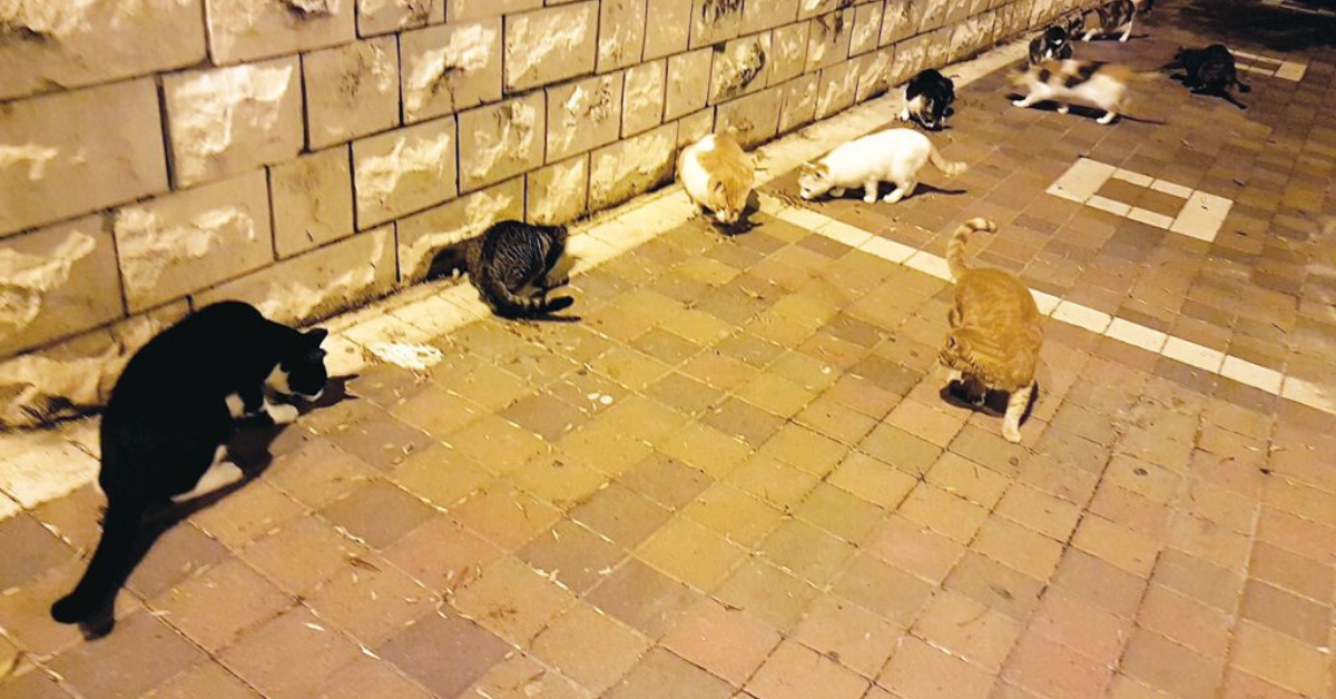 האכלת חתולי רחוב
