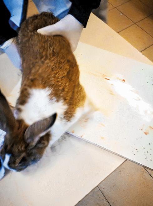 הארנבת לפני השחיטה. צילום: פרטי