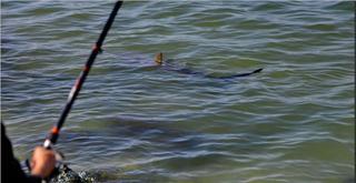 כריש חדרתי בסמוך לתחנת הכוח (צילום: איתמר רותם)